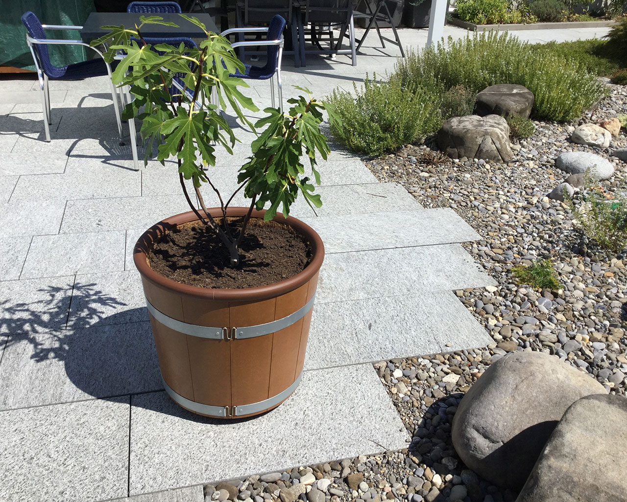 Feigenbaum im SCHÖKÜ-54 auf Terrasse